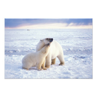 Polar bear sow with cub, pack ice of the photo art