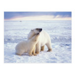 Polar bear sow with cub, pack ice of the post cards