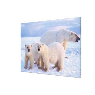 Polar bear sow with cubs on pack ice, coastal canvas print