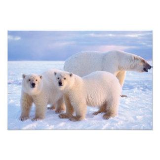 Polar bear sow with cubs on pack ice, coastal photograph