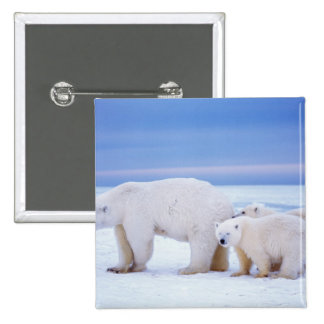 Polar bear sow with cubs on pack ice of button