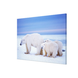 Polar bear sow with cubs on pack ice of canvas print