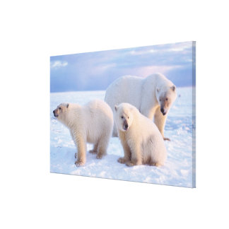 Polar bear sow with cubs on pack ice of coastal canvas print