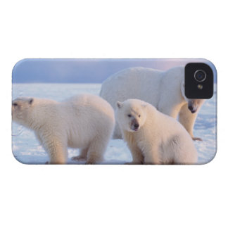 Polar bear sow with cubs on pack ice of coastal blackberry bold cases
