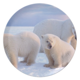 Polar bear sow with cubs on pack ice of coastal plate