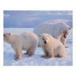 Polar bear sow with cubs on pack ice of coastal poster