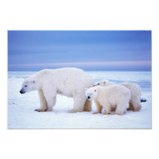 Polar bear sow with cubs on pack ice of photographic print