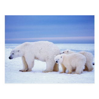Polar bear sow with cubs on pack ice of postcard
