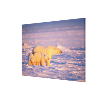 Polar bear sow with spring cubs on the frozen canvas print