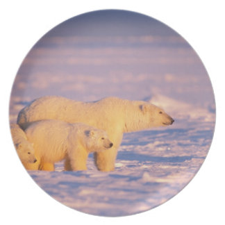 Polar bear sow with spring cubs on the frozen plate