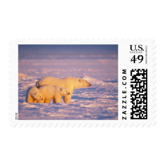 Polar bear sow with spring cubs on the frozen postage