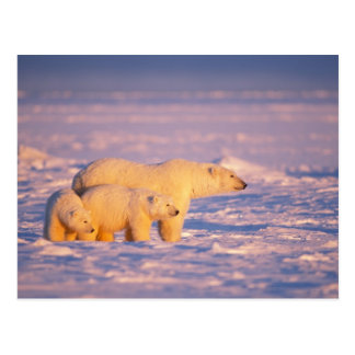 Polar bear sow with spring cubs on the frozen postcard