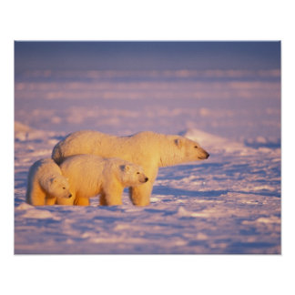 Polar bear sow with spring cubs on the frozen poster