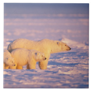 Polar bear sow with spring cubs on the frozen tile