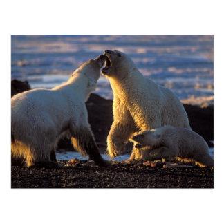 Polar bear sows with cub at side, 1002 coastal postcard