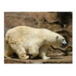 Polar Bear Strut Postcards