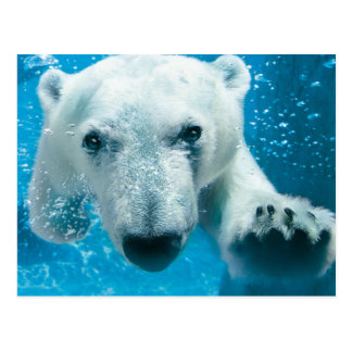 Polar Bear Swimming Postcard