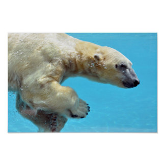 Polar bear swimming underwater poster