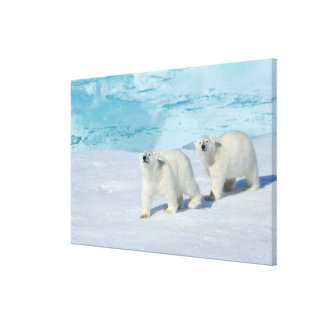 Polar bear, two cups on pack ice, Ursus Canvas Print