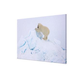 polar bear, Ursus maritimus, climbing up rough Stretched Canvas Prints