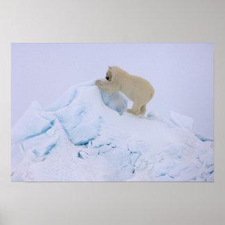 polar bear, Ursus maritimus, climbing up rough Poster