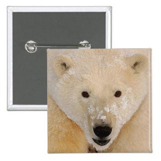 polar bear, Ursus maritimus, close up of a cub Pinback Button