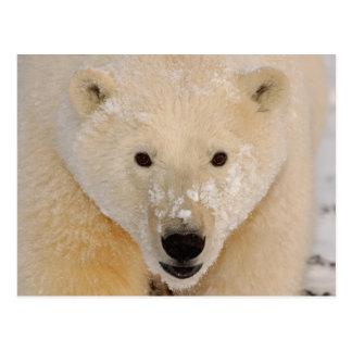polar bear, Ursus maritimus, close up of a cub Postcard