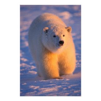 polar bear, Ursus maritimus, cub on the pack Art Photo