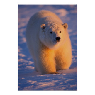 polar bear, Ursus maritimus, cub on the pack Poster