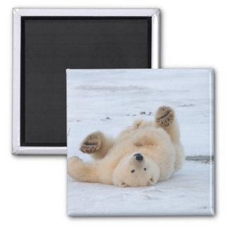 polar bear, Ursus maritimus, cub rolling 3 2 Inch Square Magnet