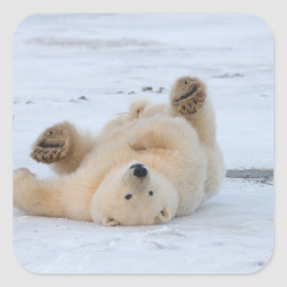 polar bear, Ursus maritimus, cub rolling 3 Sticker
