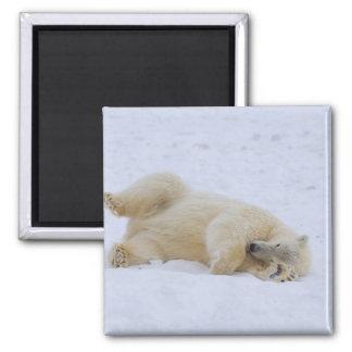polar bear, Ursus maritimus, cub rolling Magnet