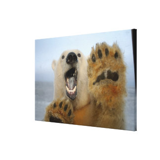 polar bear, Ursus maritimus, curiously looks in 2 Canvas Print