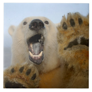 polar bear, Ursus maritimus, curiously looks in 2 Ceramic Tile