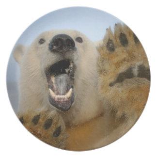 polar bear, Ursus maritimus, curiously looks in 2 Dinner Plate