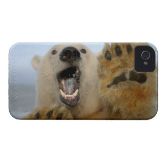 polar bear, Ursus maritimus, curiously looks in 2 iPhone 4 Case-Mate Case
