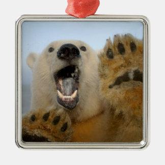 polar bear, Ursus maritimus, curiously looks in 2 Square Metal Christmas Ornament