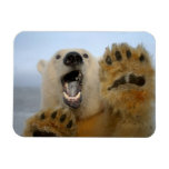 polar bear, Ursus maritimus, curiously looks in 2 Magnets