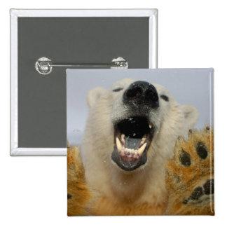 polar bear, Ursus maritimus, curiously looks in Pin