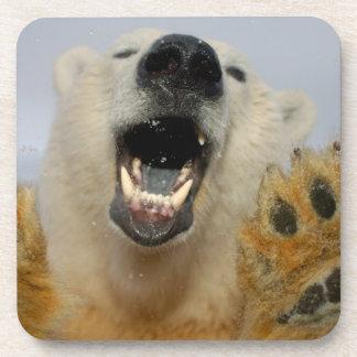 polar bear, Ursus maritimus, curiously looks in Drink Coaster