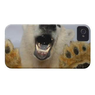 polar bear, Ursus maritimus, curiously looks in iPhone 4 Case
