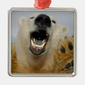 polar bear, Ursus maritimus, curiously looks in Square Metal Christmas Ornament