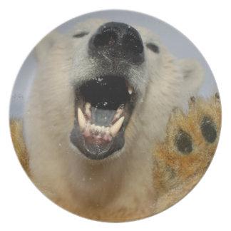 polar bear, Ursus maritimus, curiously looks in Dinner Plate
