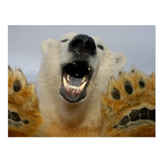 polar bear, Ursus maritimus, curiously looks in Postcard