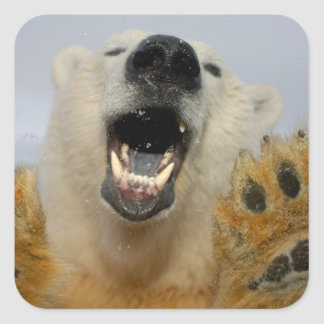 polar bear, Ursus maritimus, curiously looks in Square Sticker