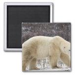 Polar Bear Ursus maritimus) in Churchill Refrigerator Magnets