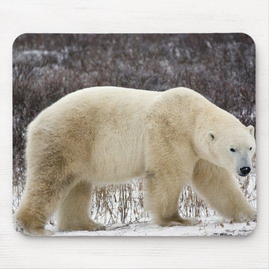Polar Bear Ursus maritimus) in Churchill Mouse Pad