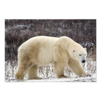Polar Bear Ursus maritimus) in Churchill Photo Print