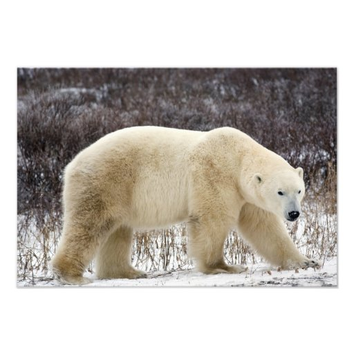 Polar Bear Ursus maritimus) in Churchill Photograph