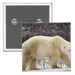 Polar Bear Ursus maritimus) in Churchill Pin